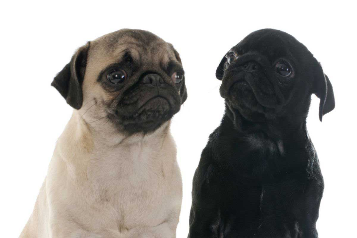different-colors-pugs