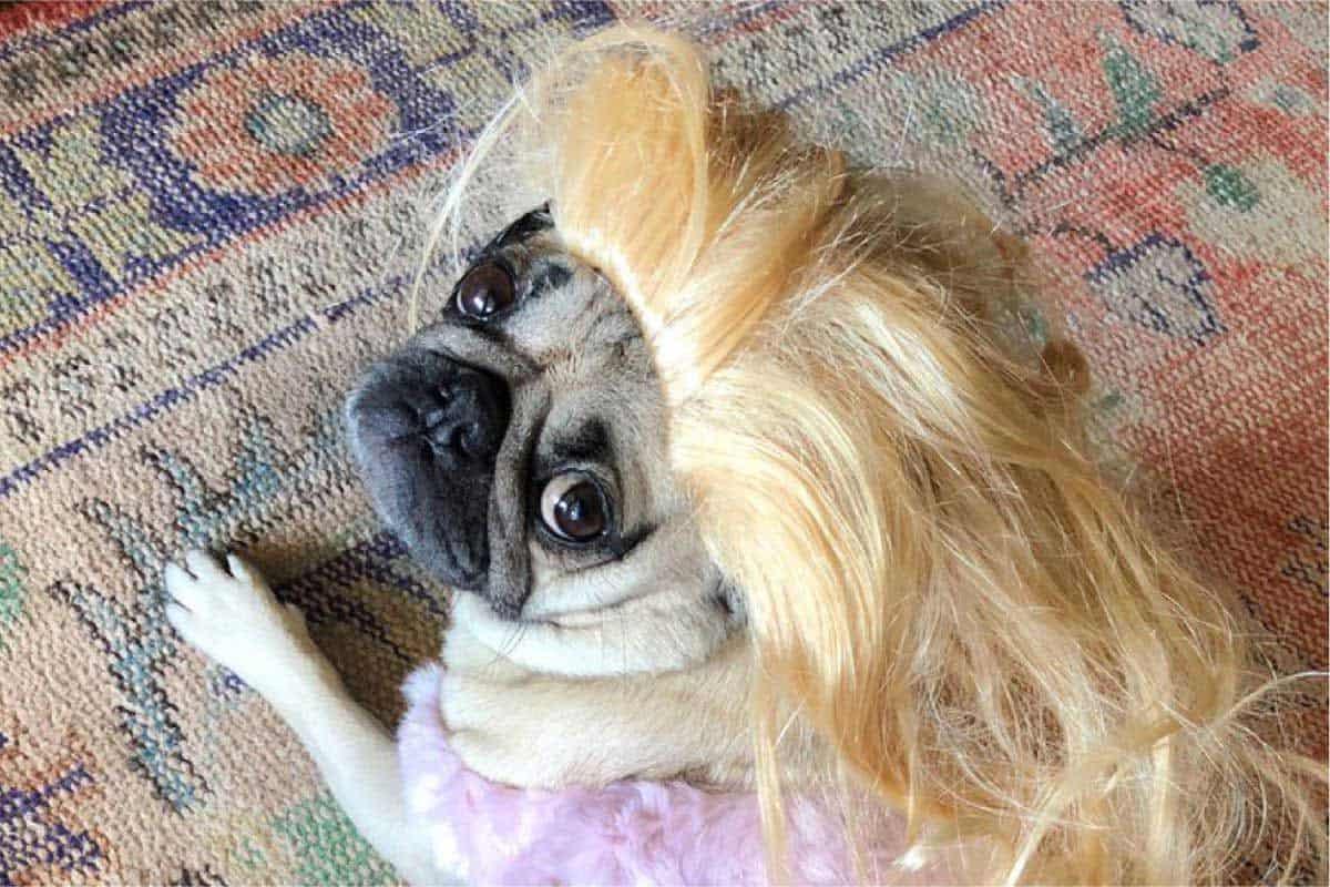 long-haired-pug
